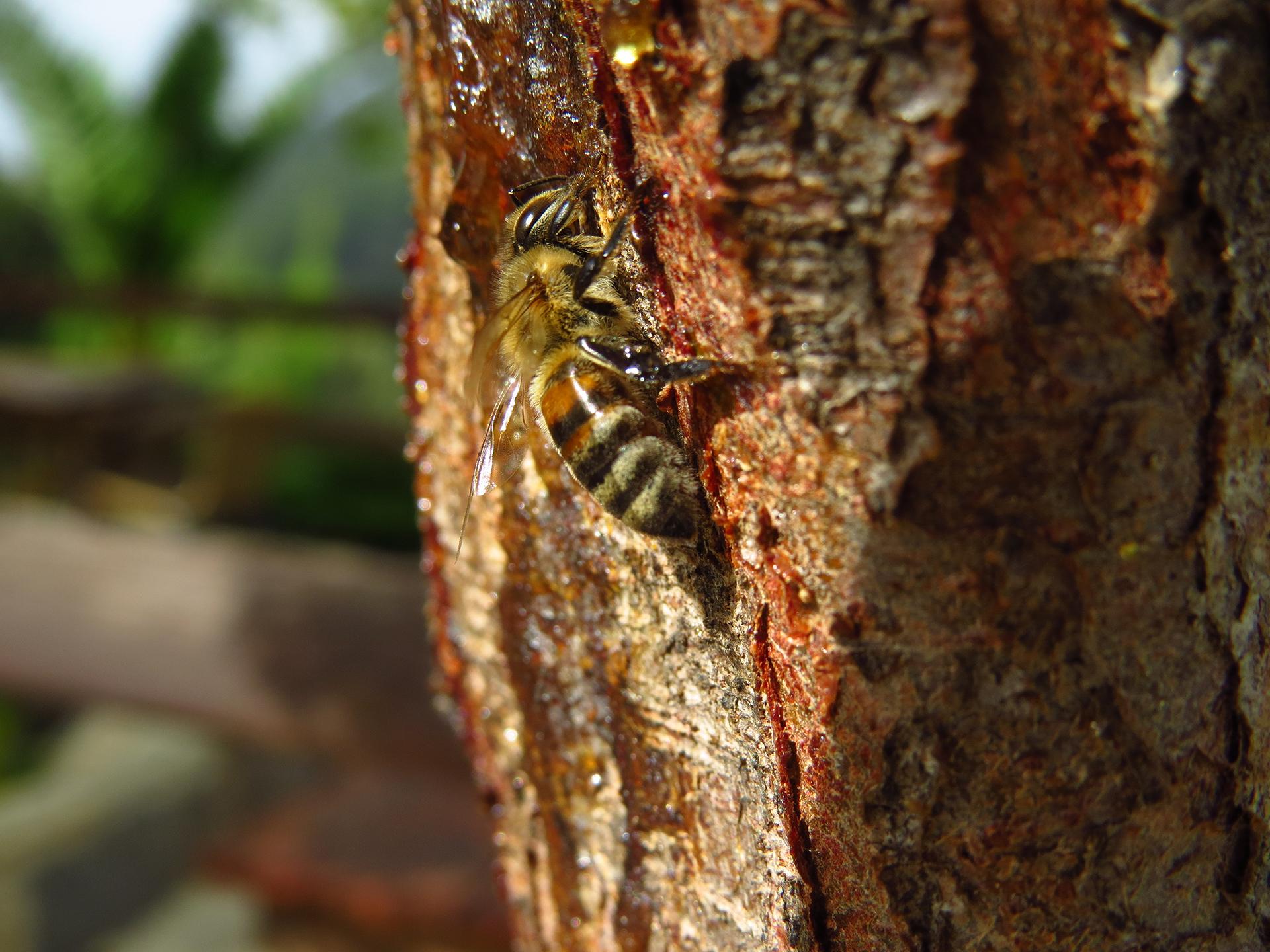 Μέλισσα σε δέντρο